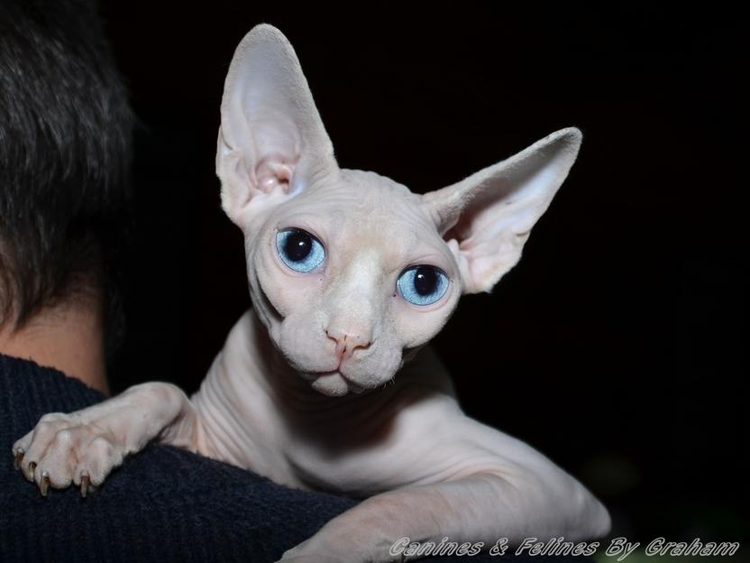 Sphynx Cat - Cat Breed history and some interesting facts